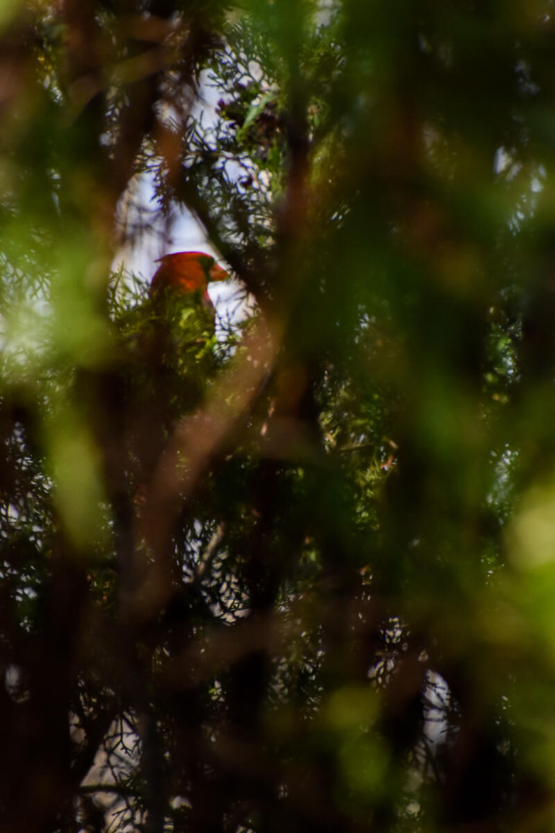 Emma Walkington: blurry trees I the foreground and red bird that is focused on in the background seen through a small part of the trees.