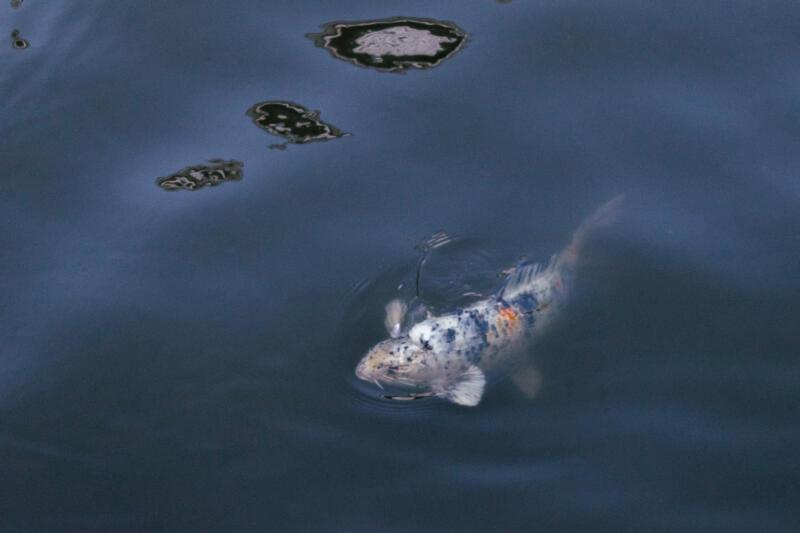 Emma Walkington: a koi fish swimming towards the surface of water