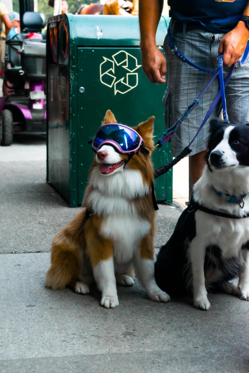 Emma Walkington: a light brown and white dog wearing goggles sitting down next to another dog that is black and white also sitting down outside during daylight on leashes