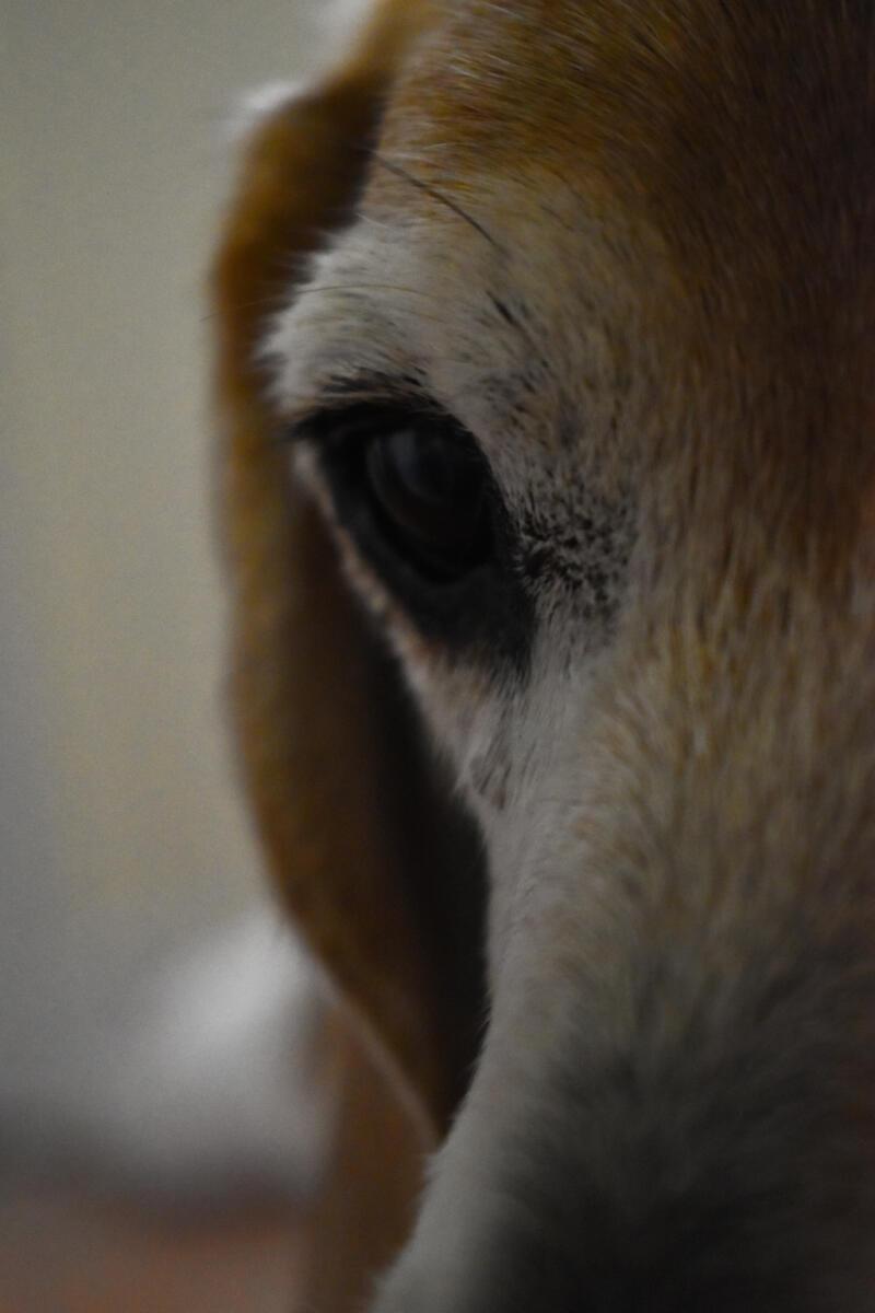 Emma Walkington: close up of a light brown dogs eye